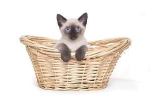 gatitos siameses sobre un fondo blanco foto