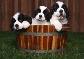 Tres adorables cachorros de San Bernardo en un barril foto