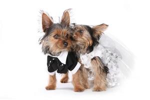 La novia y el novio cachorros de yorkshire terrier en blanco foto