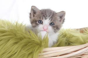 Retrato de gatito en estudio sobre fondo blanco. foto