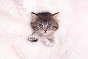 gatito acostado en la cama con manta foto
