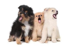 Cachorros pomerania cantando aullidos sobre fondo blanco. foto