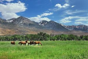 caballos marrones que pastan en los prados de la montaña foto