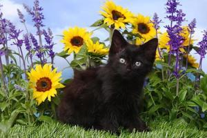 lindo gatito negro en el jardín con girasoles y salvia foto