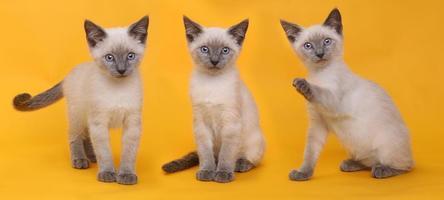 Gatitos siameses sobre fondo de colores brillantes foto