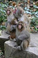 Monos rhesus salvajes que viven en el parque nacional de Zhangjiajie China foto