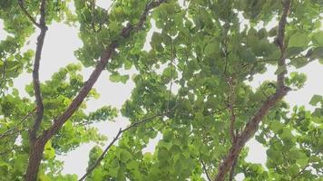 ramas frondosas en una suave brisa video