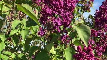 Lilacs Pan Vertical video