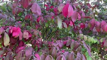 Colorful Leaves on Bush in the Wind video