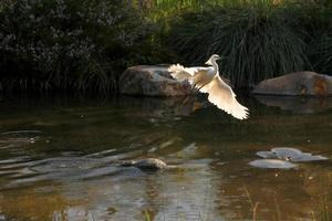 Snowy Egret Flying Out of Water photo