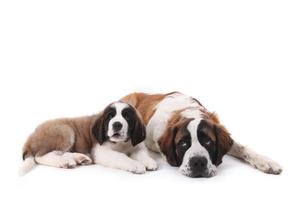 Dos amorosos cachorros de San Bernardo juntos sobre un fondo blanco. foto