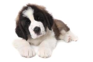 Adorable cachorro de San Bernardo acostado sobre fondo blanco. foto