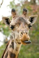 jirafa divertida con lengua fuera foto