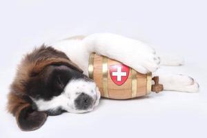 un cachorro de san bernardo con barril de rescate alrededor del cuello foto