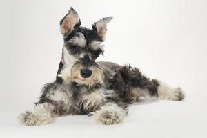 Lindo cachorro schnauzer miniatura sobre fondo blanco. foto