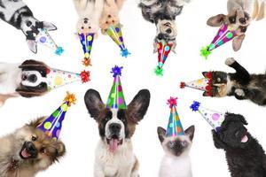 animales de compañía aislados con sombreros de cumpleaños para una fiesta foto