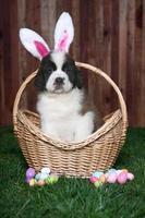 retrato de cachorro de san bernardo con temática de pascua foto