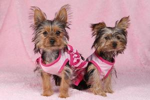 cachorros yorkshire terrier vestidos de rosa foto