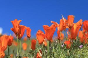 Poppy Background in Full Sun With Depth of Field photo