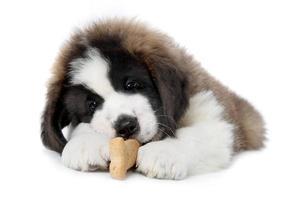 Cachorro de San Bernardo disfrutando de un convite sobre fondo blanco. foto