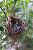 Two young birds sleeping in the nest. photo