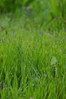 grass of a meadow with dew in the morning photo