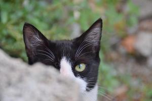 curious and hidden black and white cat photo