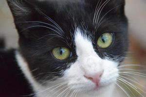 closeup on the eyes of a black and white cat photo