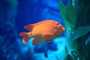 pez naranja en agua azul foto