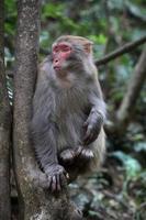 Feral Rhesus Monkeys Living in Zhangjiajie National Park China photo