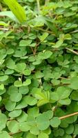 Background with green leaves for Saint Patrick's Day, believed to be a symbol of good luck. photo