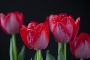tulipanes rojos con gotas de agua en primavera foto
