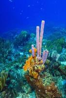Caribbean coral garden off the coast of the island of Roatan photo