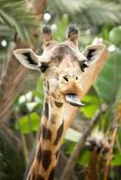 hilarante jirafa con lengua fuera foto