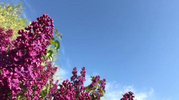 lilas contre le ciel bleu video