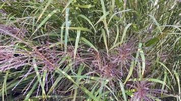 hierba alta arrastrada por el viento video