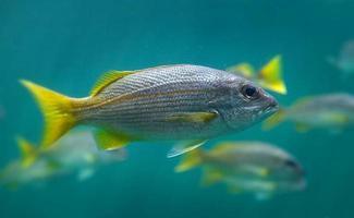 Live lutjanus madras o pez pargo indio nadando. foto