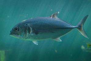 peces vivos o jureles nadando. foto