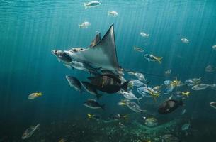 Live Eagle ray and small fishes group swimming in the aquarium tank. photo