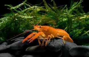 crías de cangrejo naranja vivo con hierba de roca y agua. foto