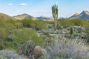 Spring time in the Sonoran Desert in western USA  creates a lush wilderness with colorful mountains and Saguaro cactus photo