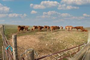 manojo de vacas marrones foto