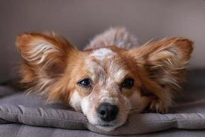 small cute dog on the bed photo