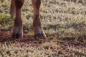 brown cows legs photo