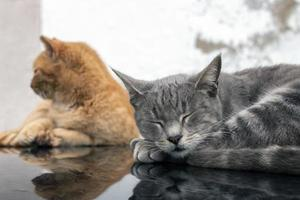 domestic cats on top of car photo