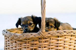 domestic dogs on the basket photo