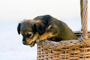 domestic dog jumps out of basket photo