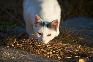 beautiful domestic cat hunting photo