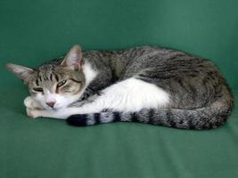 domestic cat on top of sofa photo