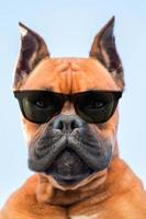 Portrait of a boxer dog breed with dark sunglasses photo